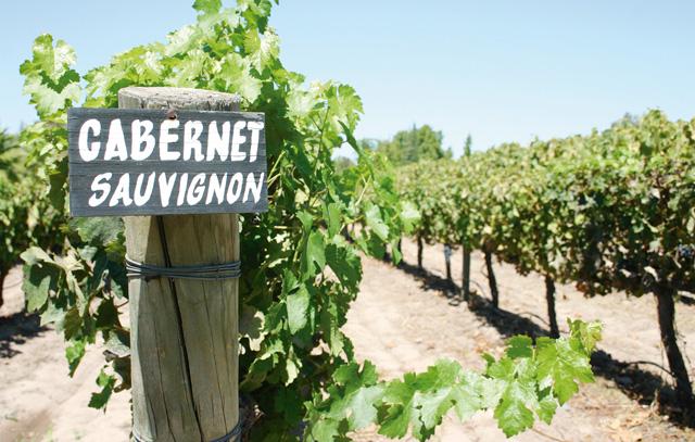 Weinanbaufläche in Chile, auf dem die Traubensorte Cabernet Sauvignon angebaut wird.