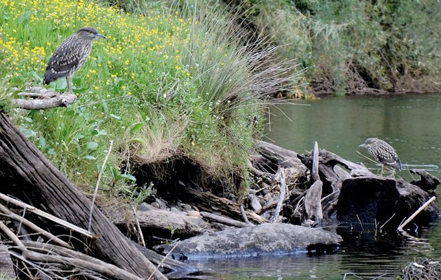 Parque de Borde-Río. La franja de vegetación que separa las parcelas del río es un exelente hábitat para la fauna del sector. Es muy común obsevar Huairavos, Martin Pescador, Rayaditos y otras aves que habitan en torno al río. (Fotografía 2016, Erika Klein)